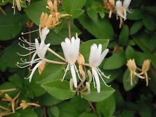 20 pc Japanese Honeysuckle Plant Vine Seed Organic Natural Grown Edible