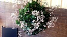Crassula multicava/Jade Plant/Money Vine x 1 plant. Great for hanging baskets