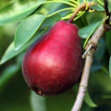 Rare Mini Red Pear Seeds Asian Pear Seeds Delicious Pear Fruit Seeds Easy Grow
