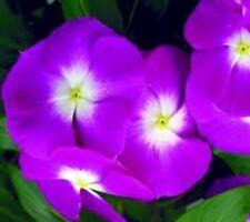 40+   Orchid Vinca Periwinkle Flower Seeds / Deer Resistant
