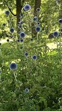 Giant BLUE Globes, Fresh seeds, GIANT flowers upto 4ft tall! wildlife/bee plant!