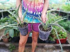 Yucca Mix - Yucca treculeana + Yucca torreyi