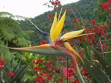 RARE Tropical Mandela's Gold Bird Of Paradise SEEDS Strelitzia, Ships From USA!