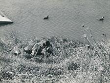 CHASSE c. 1950 - Chien de Chasse  Gibier d'Eau USA  - DIV8414