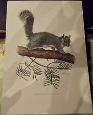 N°50 Mammal Poster Squirrel Gray America Usa