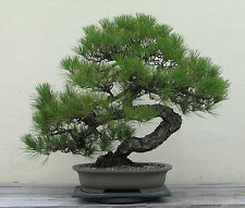 Japanese Black Pine Seeds - BONSAI TREE - Exotic Tree / Houseplant - 6 Seeds