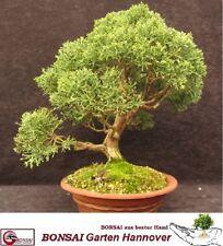 Bonsai Juniperus chinensis - chinesischer Wacholder - über 30 Jahre alt