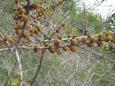 Sanddorn männlich Hippophae rhamnoides Pollmix Pollenspender40-60cm Fruchtgehölz