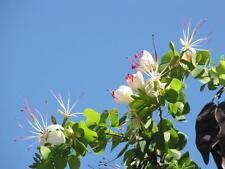 White Flower Bauhinia  (Bauhinia hookeri)10 Fresh Seeds