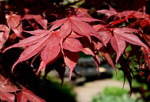 Roter Fächerahorn Acer palmatum 'Atropurpureum'   80 - 100 cm im Container