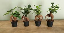 Ficus Ginseng Bonsai House Plant