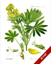 EUROPEAN YELLOW LUPIN FLOWER PLANT ILLUSTRATION PAINTING ART REAL CANVAS PRINT
