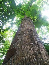 *UNCLE CHAN* 50 SEED TEAK TREE THAILAND TECTONA GRADIS HARD WOOD RARE HARVEST