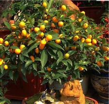 Hot Sale 50 pcs Mandarin Citrus Orange Bonsai Tree Seeds Garden Plant Fruit