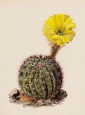 Cactus Print Vintage Botanical Print Lovely Art Golden Easter Lily Cactus #2273
