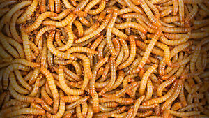 60g Tub of standard size live mealworms