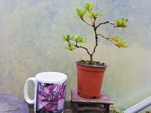 Beautiful Satsuki Azalea rhodedendon Bonsai starter plant Flowering