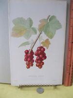 VIntage Print,GROSEILLE CERISE,French Fruit,Tree