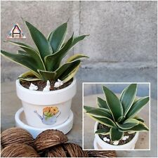 "Dwarf Snake Plant Tall 5"" Sansevieria ""Mother in Law's Tongue"" Variegated Plant"