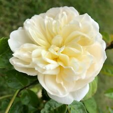 CANTERBURY   Climbing Rose   7Ltr Potted Rose Plant   Cream & Apricot, Scented