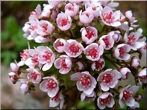 "Peltiphyllum Peltatum x "" UmbrellaPlant ""  100 x Fresh Seed"