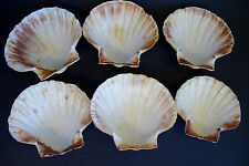 6 Natural Real Seashell Plates Scallop rim - White/pink