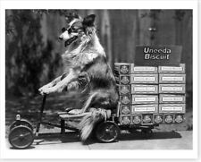 Collie Dog In Sunglasses Pulling Cart Of Uneeda Biscuits Silver Halide Photo