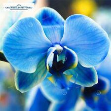 10Pcs Rare Blue Butterfly Orchid Phalaenopsis Flower seeds Genuine Viable UK