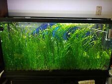 Corkscrew Vallisneria Aquarium Plant Beginner