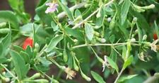 """ORGANIC GOJI BERRY plant(('crimson star') (cuttings ) 2 yr old 6-8"""" lg 20 count"""