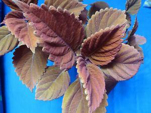 Buntnessel Coleus Ableger Steckling rotbraun grün außergewöhnliche Farbe