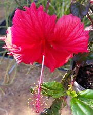 """Hibiscus """"RED HOT"""" Red flowers variegated leaves green white pink purple 3 gal"""