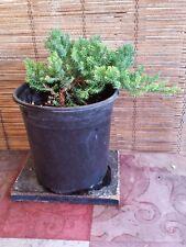 Juniper Bonsai Trees Live Plant Indoor / Outdoor + FREE 1 Plant Food