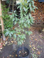 Garten Mandelbaum Prunus ca. 80-100cm  Pflanze rosa Blüten