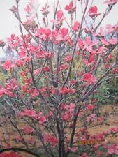 Cornus florida Sweetwater - Amerikanischer Blumen-Hartriegel Sweetwater