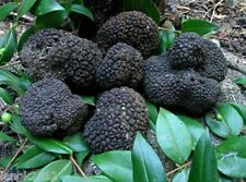 20 g Seeds Spores Dry of Truffle Black Garden Mushrooms kit / fungus