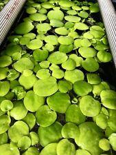 1 Juvenile Amazon Frogbit / Limnobium Laeviatum Live Aquarium-Floating Plants