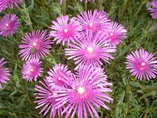 "10 x Stecklinge Mittagsblume Sukkulente winterhart ""pink fire"""