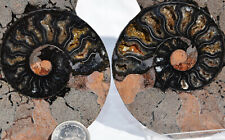 "Rare 1 in 100 Black Pair Ammonite Crystal Lrg 109mm Dinosaur Fossil 4.2"" 7438xx"