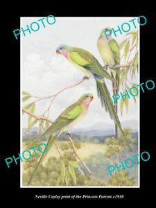 NEVILLE CAYLEY VINTAGE PRINT OF AUSTRALIAN BIRDS 8x11 THE PRINCESS PARROT