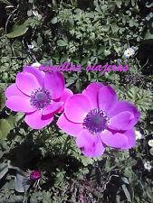Anemone sylphide , anémona,  50 semillas de flores seeds graines samen