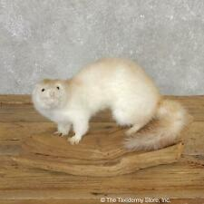 #19811 E | Mink Life-Size Taxidermy Mount For Sale