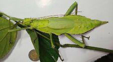 Heteropteryx dilatata 10 eggs stick insect phasmids freebies