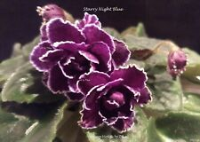Starry Night Blue African Violet Plant