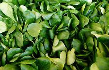 🥗 1.000 Samen Feldsalat Volhart Salat Rapunzel Wintergemüse