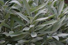Sage Seeds- Broad Leaf- Heirloom Herb- 50+ 2018 Seeds   $1.69 Max Shipping/order