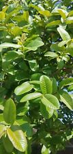 50 Guava Fresh Leaves Organic  Psidium Guajava Loose Leaves