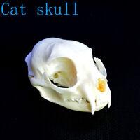 1pcs real Animal pussy Skull specimen