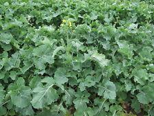 1000 HANOVER SALAD SPRING KALE Smooth Siberian Brassica Napus Vegetable Seeds
