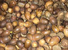 Bag of 250 Acorns•Fresh WhiteOak•Fall Bowl Filler•Holidays Art•Oak Tree Seeds•US